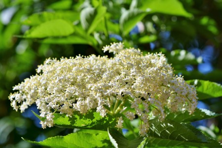 sambuco valnerina piante natura